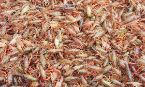 成熟的【天游】技术,优质种虾种苗。