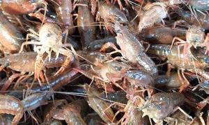 【天游】食性杂,动植物饵料均可喂养。